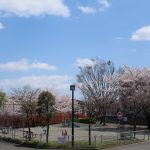 満開から散り始めた桜、桜、桜🌸